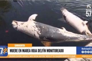 Muere en marea roja delfín monitoreado