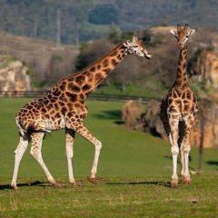 "Mueren 2 jirafas por rayo en ""Lion Country Safari"""