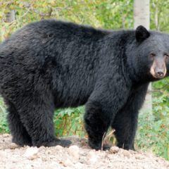 "Encuentro cercano con un ""oso negro"" en Port St. Lucie"