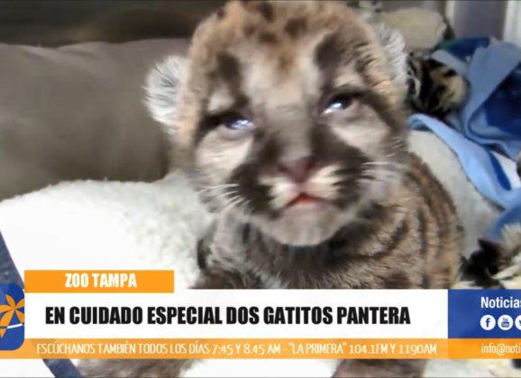 En cuidado especial dos gatitos pantera en ZooTampa